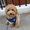 dog walking in Chelsea
