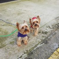 walking with Yorkies
