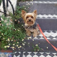 Yorkie with flowers