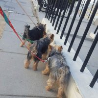The Yorkie Group
