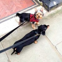 Group dog walk in Chelsea sw10