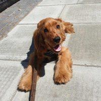 happy Spaniel puppy